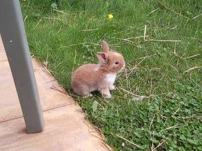 Baby Bunny Dwarf Bunnies Pet Bunny Mini Lop Bunnies