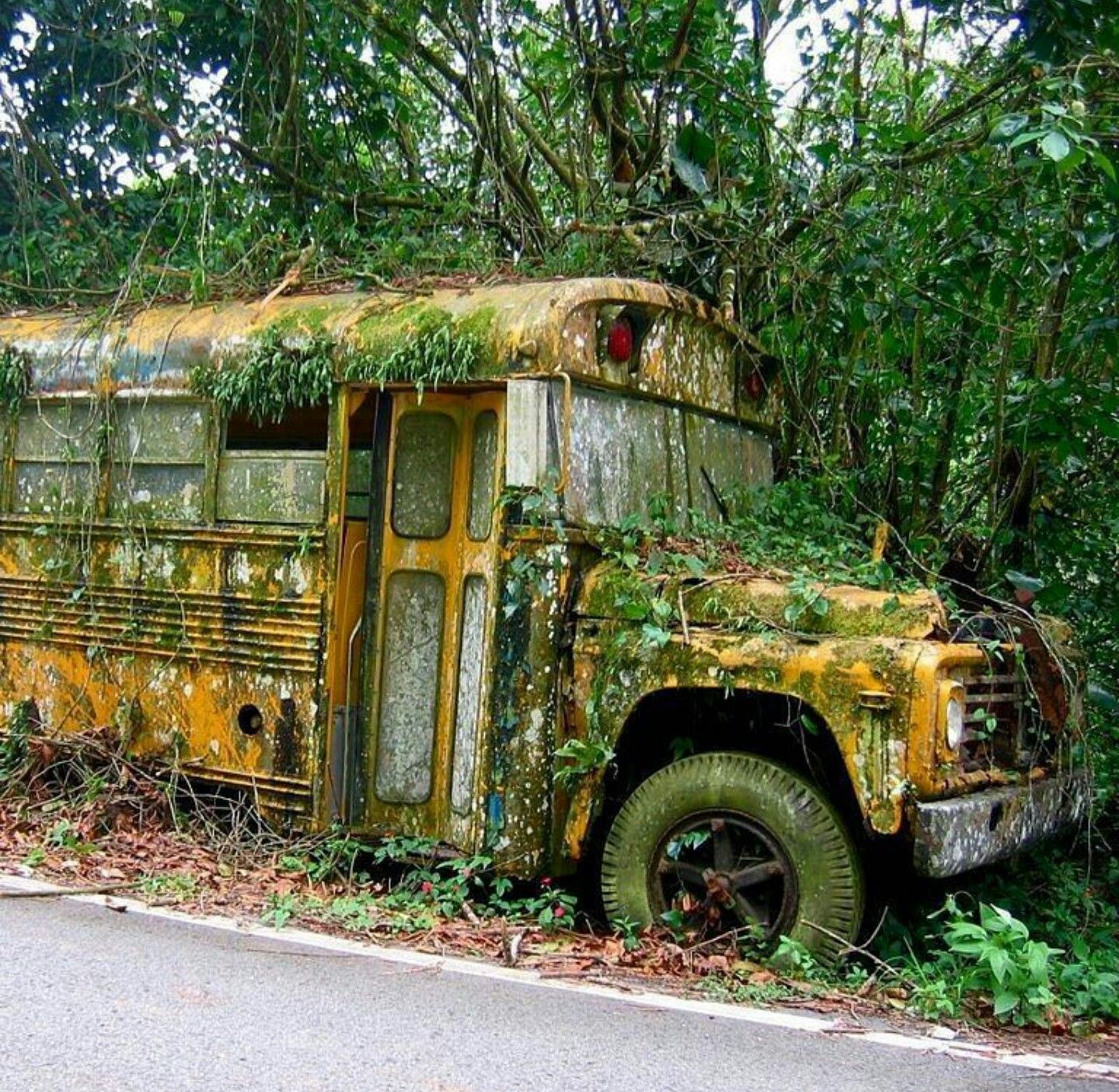 Abandoned School Bus Overgrown With Ivy And Moss