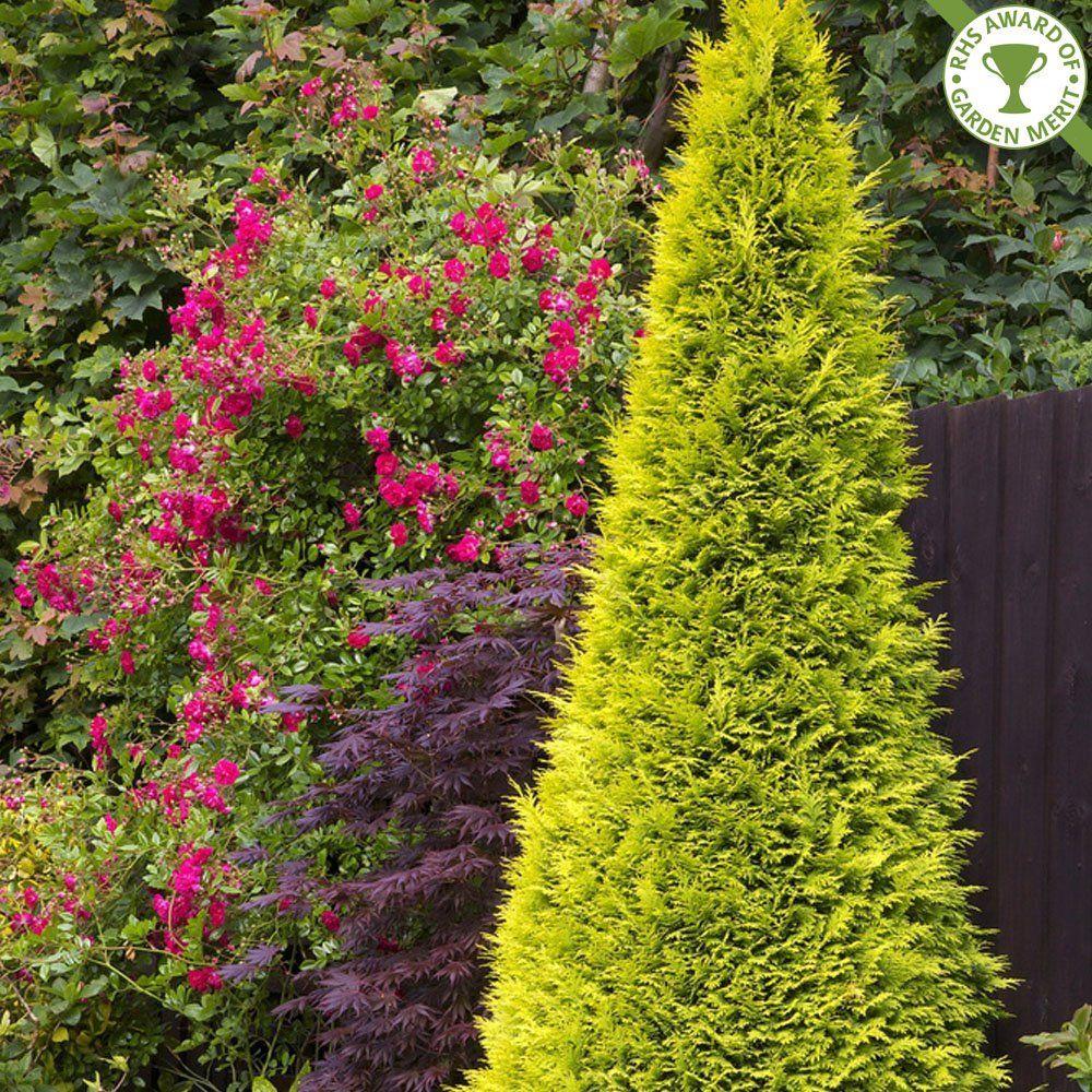 Chamaecyparis Lawsoniana Stardust Buy Lawsons Cypress 640 x 480