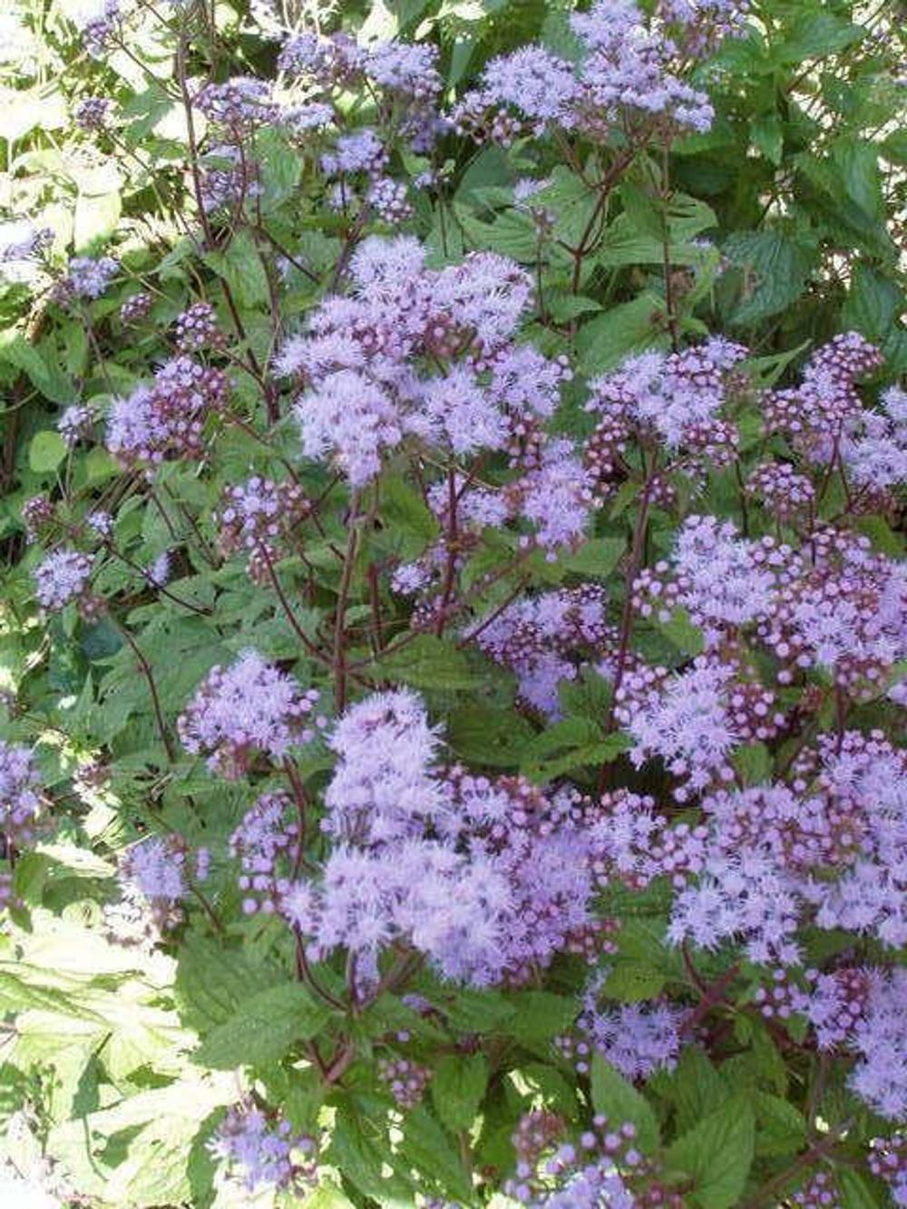 100 Purple Mistflower Hardy Or Wild Ageratum Eupatorium Etsy Flower Seeds Purple Plants Hardy Hibiscus