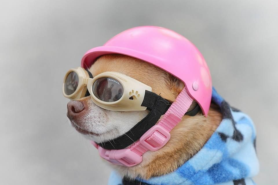 Chihuahua In Doggles Chihuahua Animal Party Pets