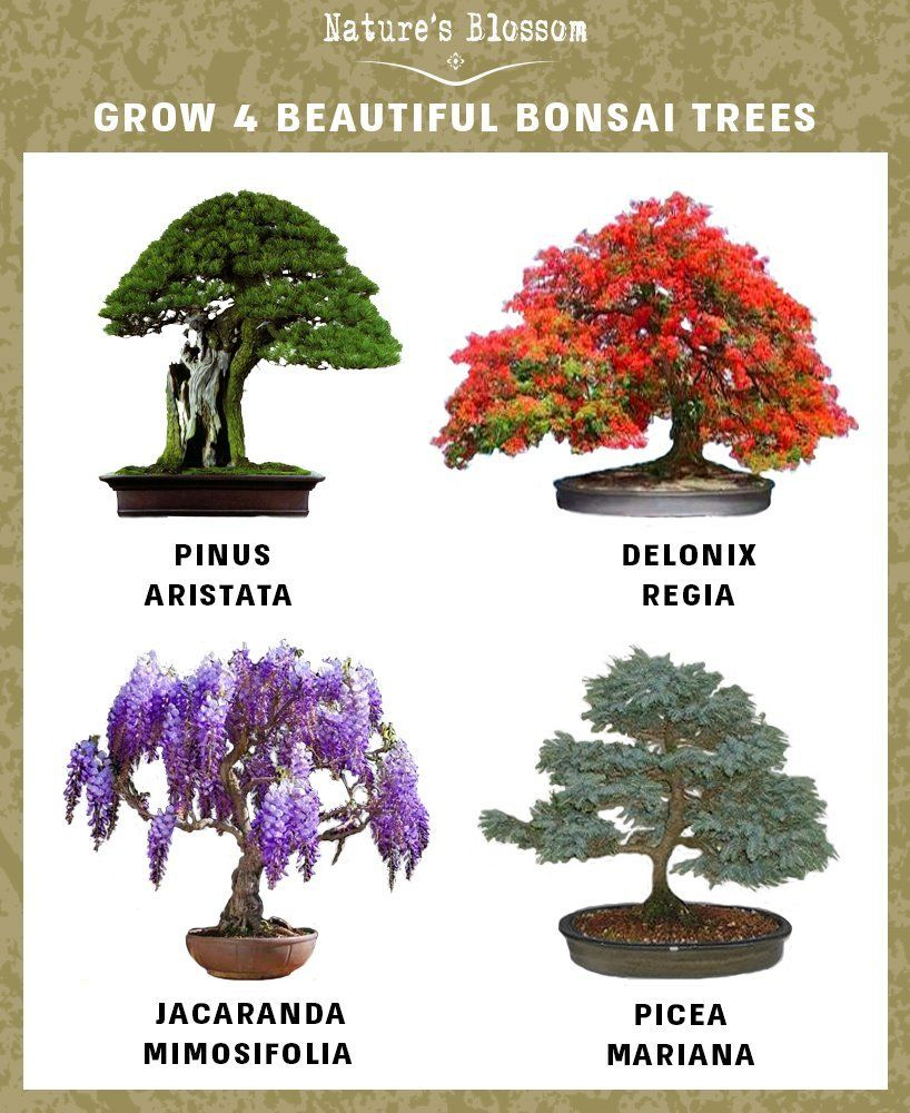 Grow 4 Bonsai Trees With Nature S Blossom Growing Kit Soil Pots And Tree Seeds Are Included Plants Are Grea Bonsai Tree Types Bonsai Tree Indoor Bonsai Tree