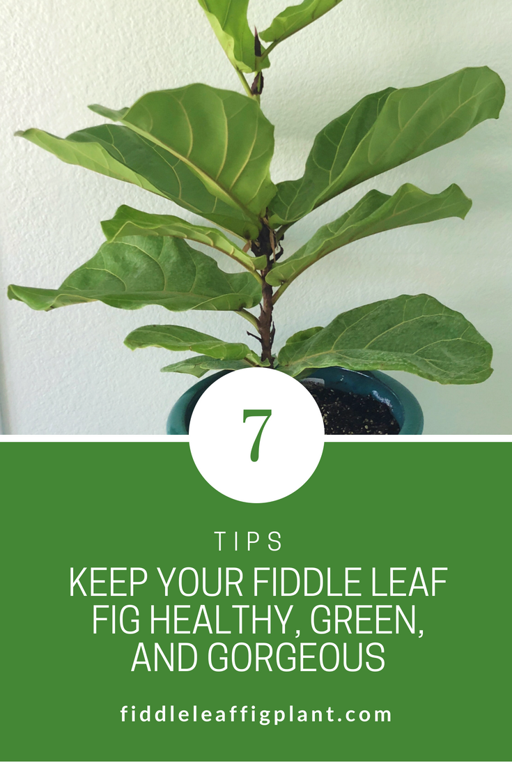 Fiddle Leaf Figs Are Popular Because They Provide Such Eye Catching