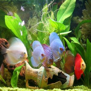 Assorted discus tropical fish for sale guppy aquarium for Live discus fish for sale