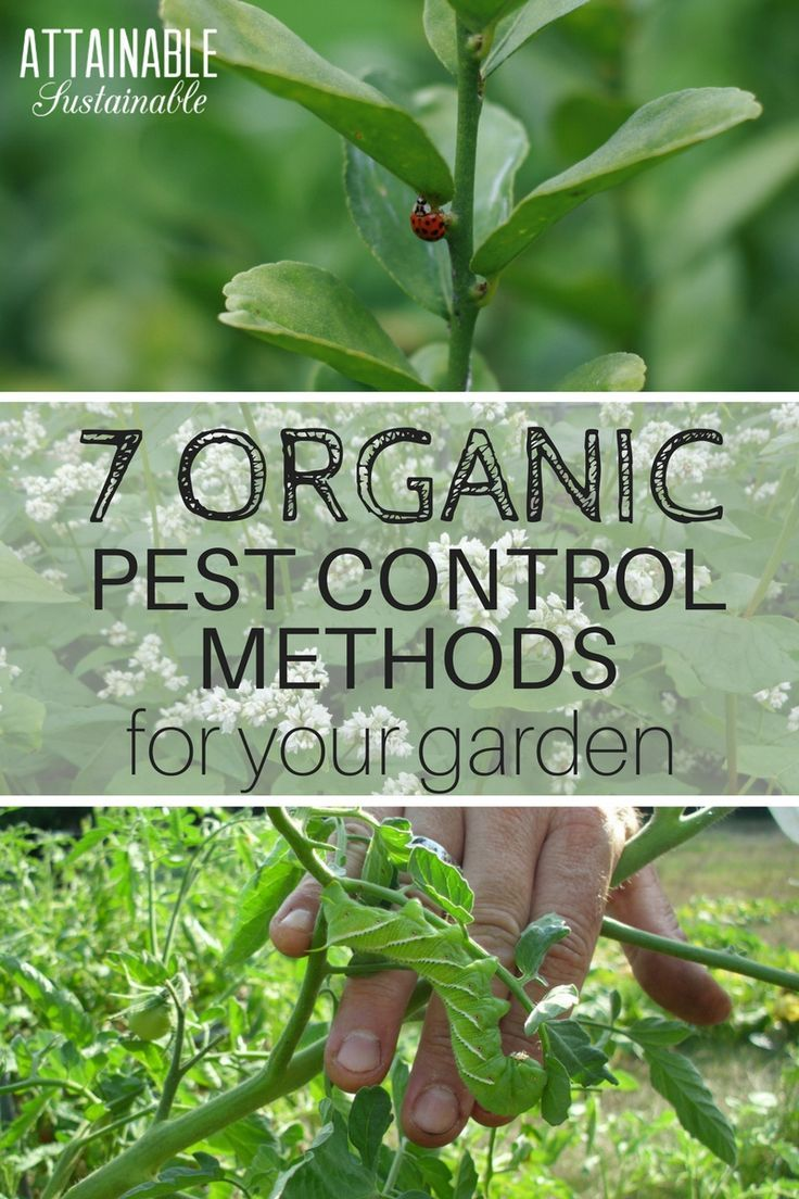 Organic Pest Control Doesn T Have To Mean Fruits And Veggies Riddled With Worms Your Vegetable Garden Organic Pest Organic Vegetable Garden Organic Pesticide