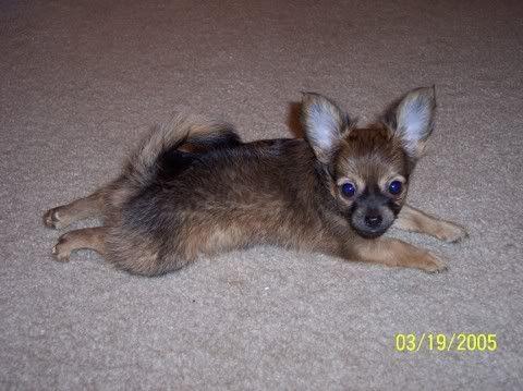 chihuahua image by chichis4u2c - Photobucket
