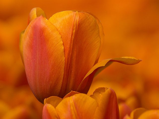 "kendradaycrockett: "" Oranje tulp by T.Valk on Flickr. """