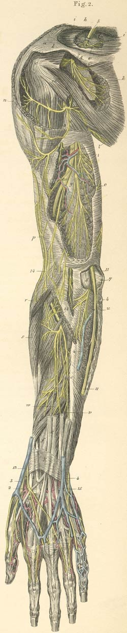 Deep nerves of the posterior surface of the left arm | Anatomy ...