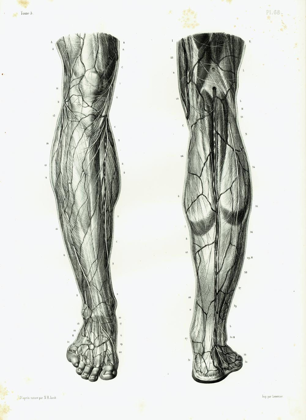 1844 Nerves Muscles, Knee, Legs, Foot Antique Anatomy Muscles, Human ...