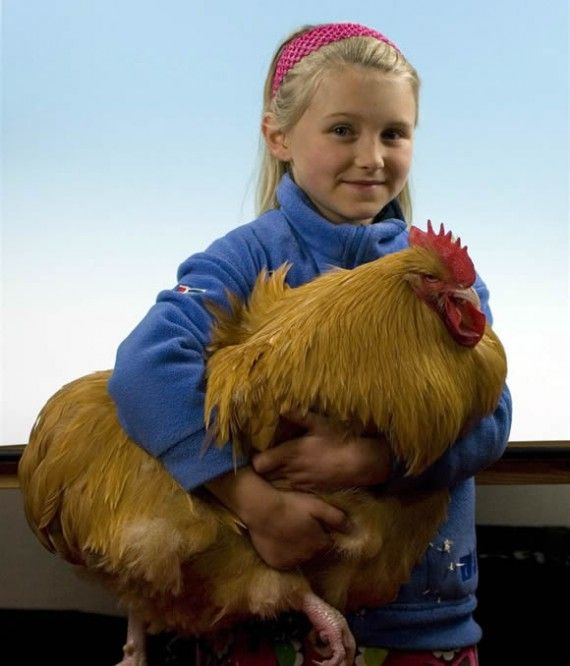 "Buff Orpingtons, the ""Golden Retriever"" of chickens ..."