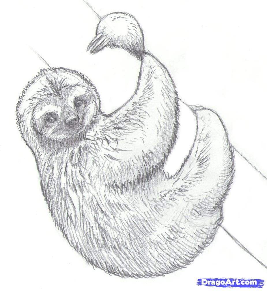 How To Draw Sloths Step By Step Forest Animals Animals Free Online Drawing Tutorial Added By Makangeni April 16 Sloth Drawing Sloth Art Animal Drawings