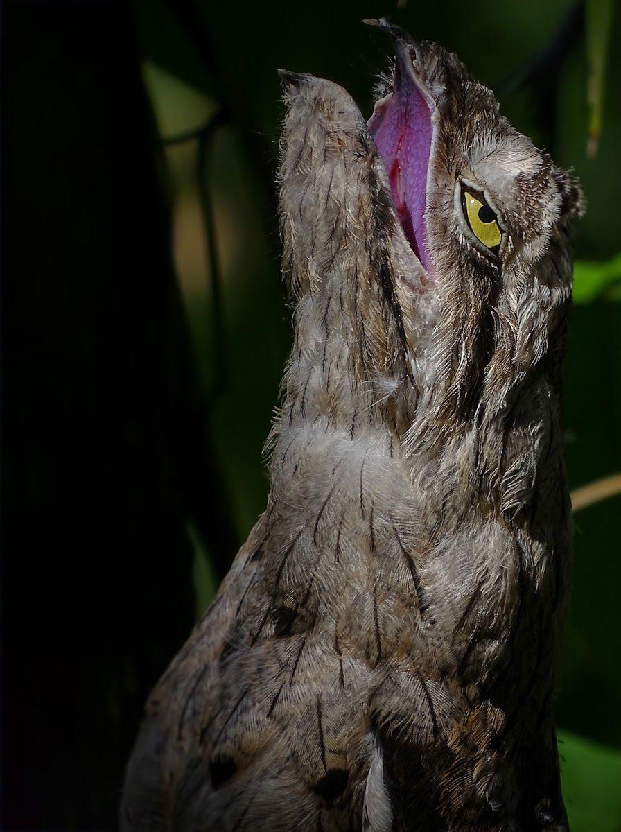 Common Potoo Weird birds, Funny birds, Beautiful birds