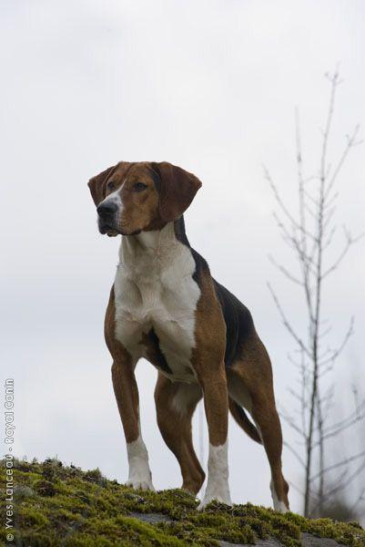 Hamiltonstovare Hound Puppies Foxhound Puppy Harrier Dog