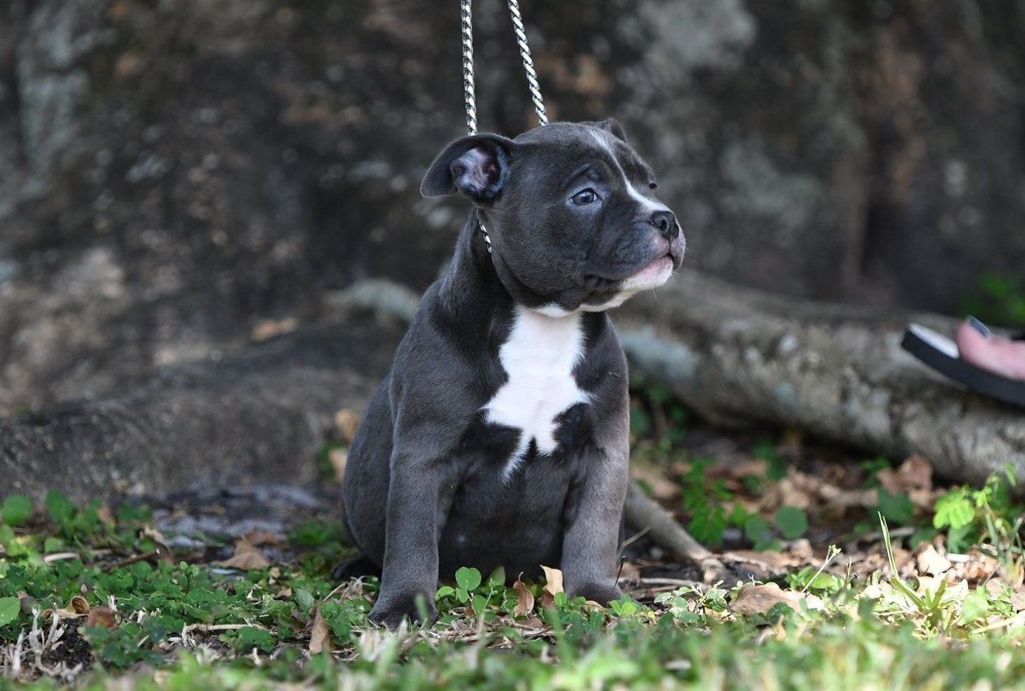 Amazing american bully pocket puppies for sale american