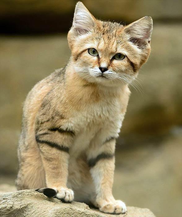 Wild Sand Cat (Felis margarita) Sand cat, Small wild