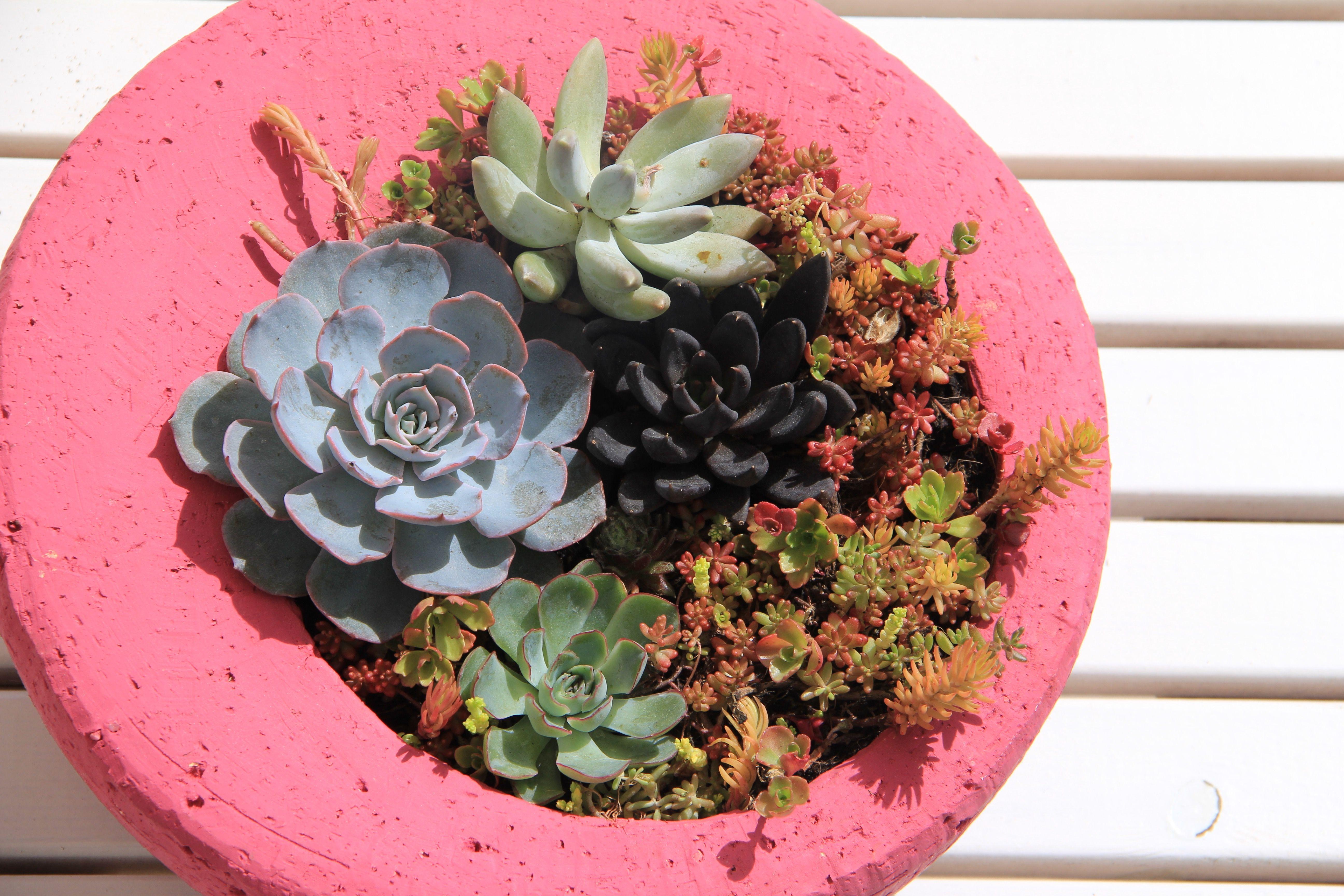 succulents arrangement in a hot pink pot