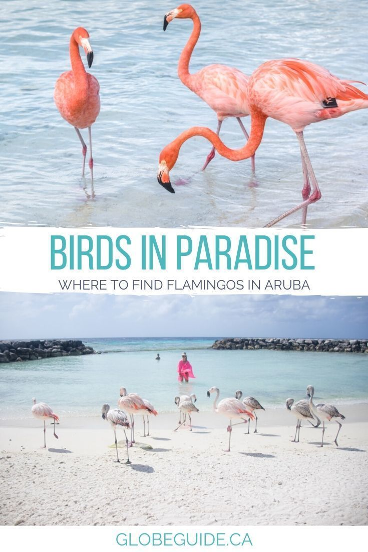 Secret tips for seeing the Aruba flamingos