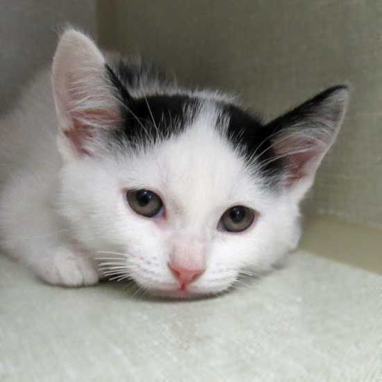 Koi Is A Two Month Old Kitten Who Would Love To Find A Forever Family Just Look At Those Adorable Ears Kitten Adoption Cat Adoption Cats And Kittens