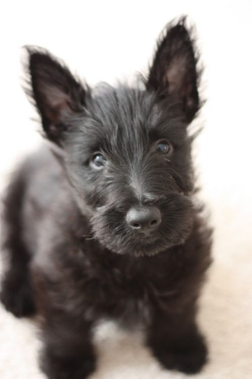 Nothing cuter than a scottie puppy.  One day i will have another....