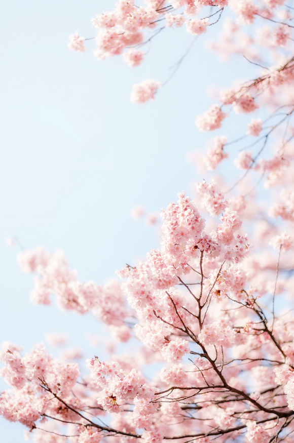 by sn0pan Sakura art, Flower aesthetic, Cherry blossom japan