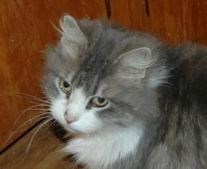 Adopt Fluffy On Petfinder Grey And White Cat Fluffy Cats