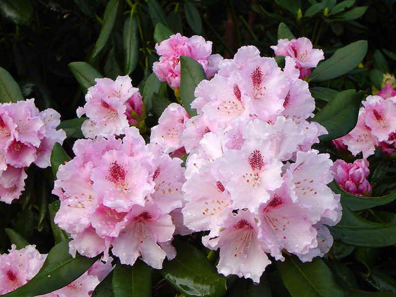 Light Pink Rhododendron Lamentosa Light Pink With Dark