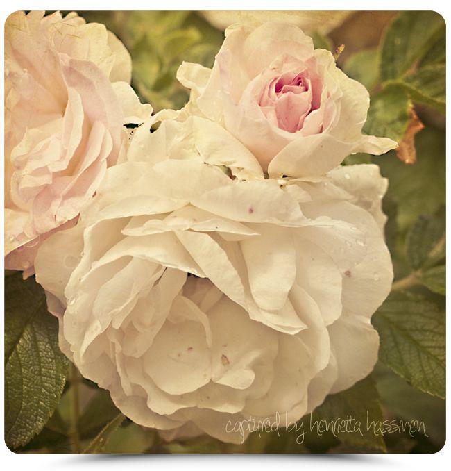 Henrietta Hassinen: Ruusuja Loviisasta