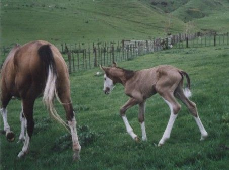 Hey What The (1998 bay splash mare, Hey Baba Riba x Nagol Lass, Americus) with her 2004 Go Corp filly Bubba (euthanized in 2008 sadly).