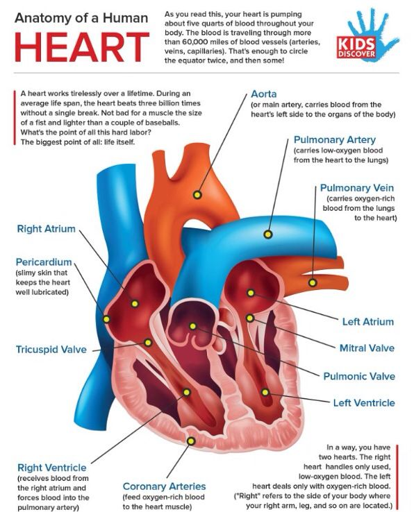 Anatomy Of The Heart Life Pinterest Anatomy And Circulatory System
