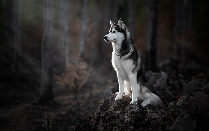 Download Wallpapers Siberian Husky Forest Dogs Big Gray Dog Cute Animals Morning Sunrise Husky Siberianhusky Siberian Husky Husky Husky Dogs