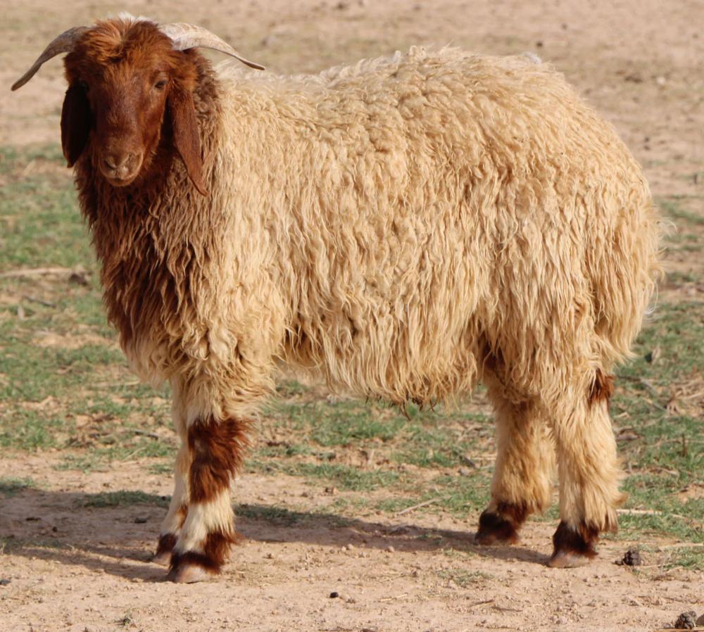 خروف نعيمي عقيقة لحيمات Horses Animals Cow