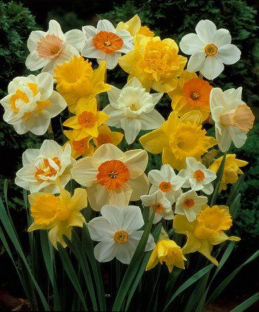 Assorted Daffodil Bulbs Set Of 25 Zulily Bulb Flowers Daffodil Bulbs Daffodils