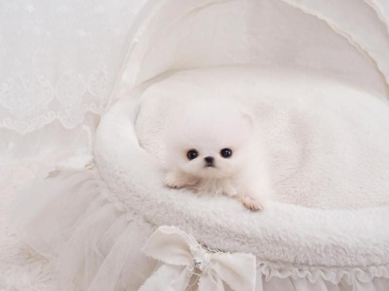 Lil Miss Tot Sold To Jeff In California Pomeranian Puppy Teacup Pomeranian Teacup Puppy Breeds