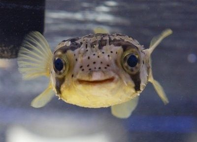 Happy little puffer fish