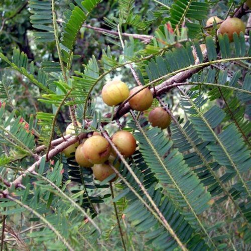 phyllanthus-officinalis