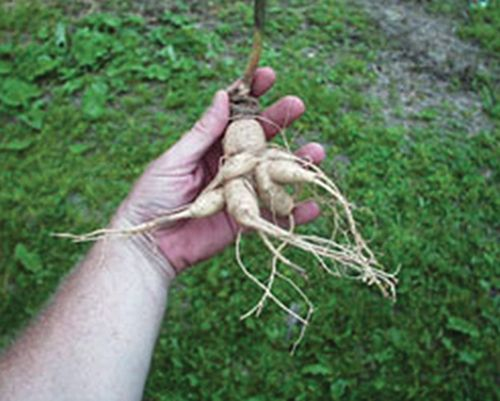 Planting and Growing Ginseng | Herbs | Pinterest | Virginia ...