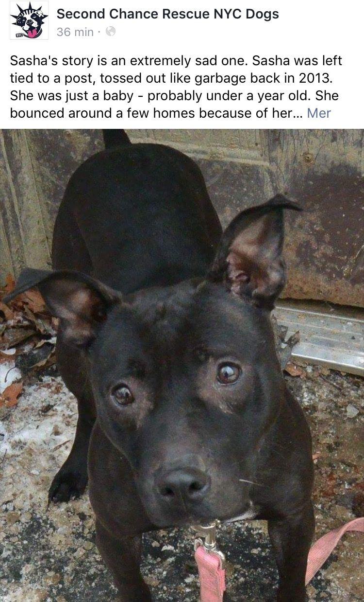 2 9 17 Still Waiting 1 15 17 Please Let S Help Sasha Making 2017 Her Year Ij Https M Facebook Com Story Php With Images Dog Adoption Patterdale Terrier Nyc Dogs