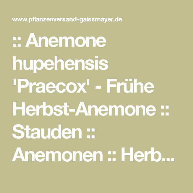 Gaissmayer Stauden anemone hupehensis praecox frühe herbst anemone stauden