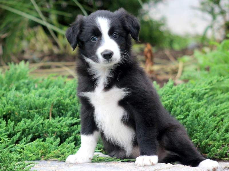 Dustin Collie Puppies For Sale Border Collie Puppies Collie