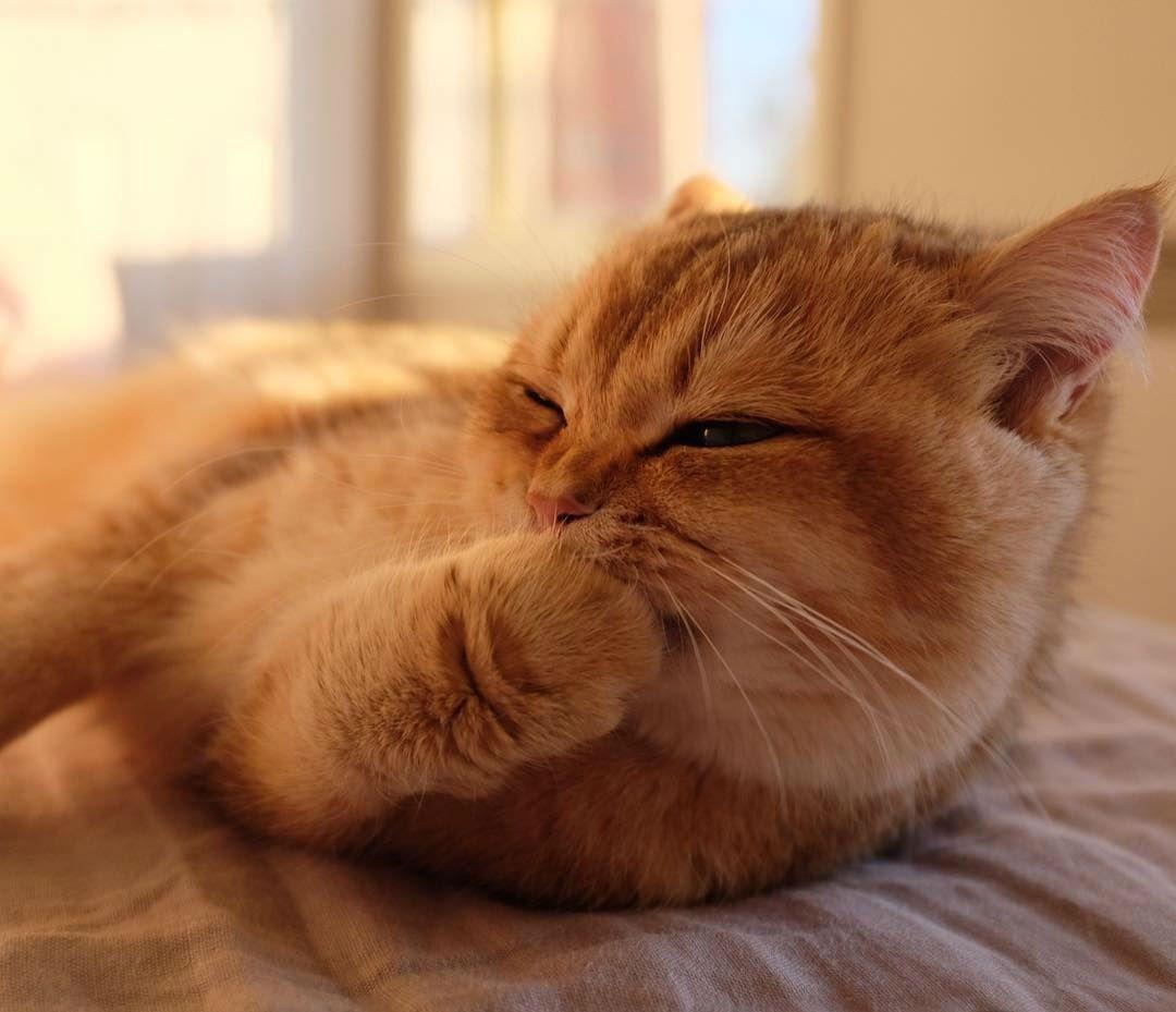 British Shorthair Kittens For Adoption Melbourne