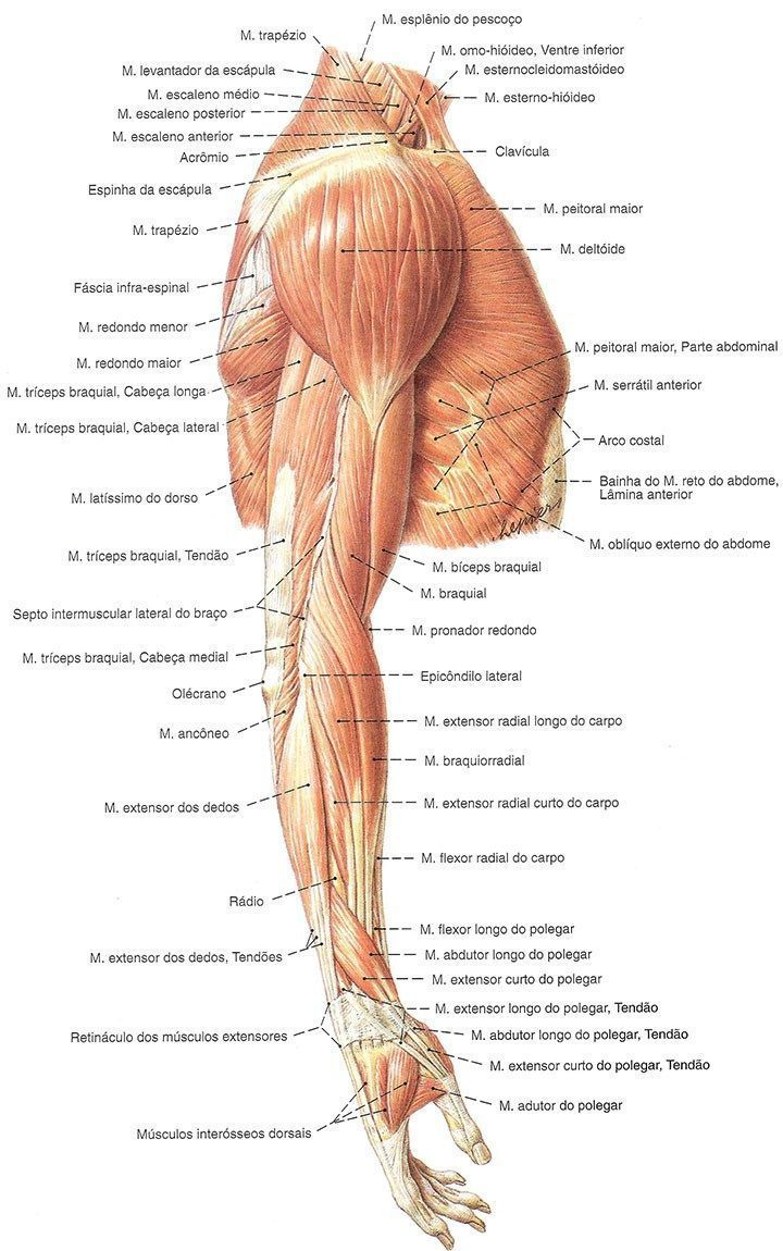 Image result for anatomia muscular do braço #MuscleAnatomy | Muscle ...