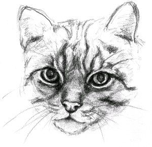 Wildcat Drawing