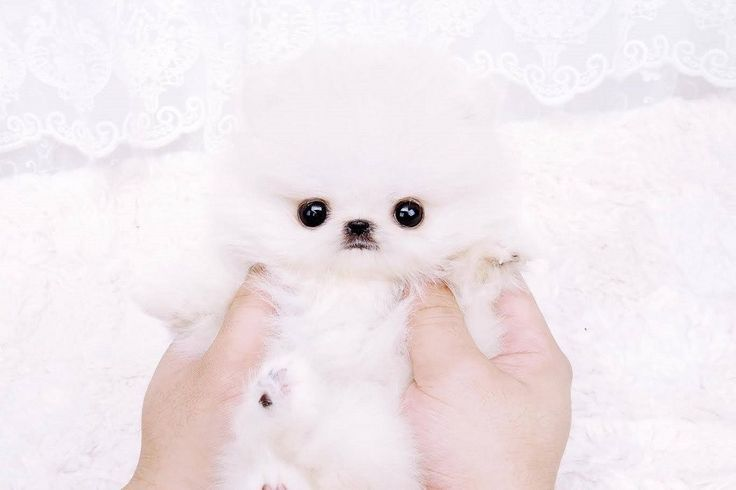 This micro pure white Pomeranian boy is such perfection we