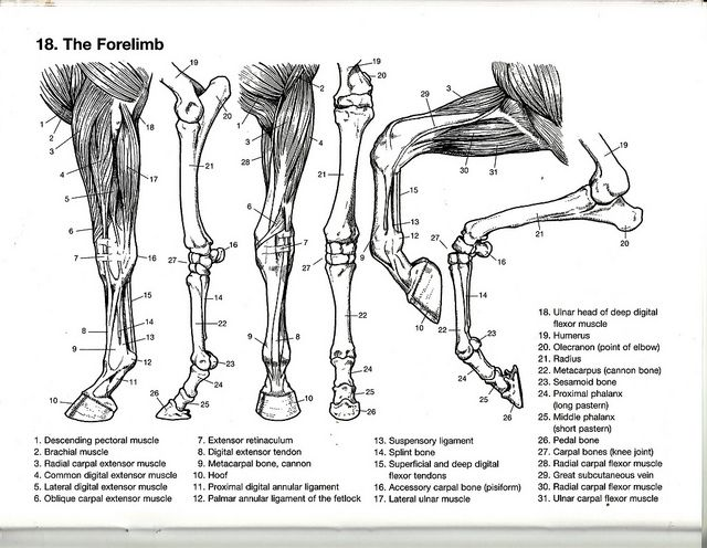 Equine Anatomy Guide The Forelimb - User Guide Manual That Easy-to ...