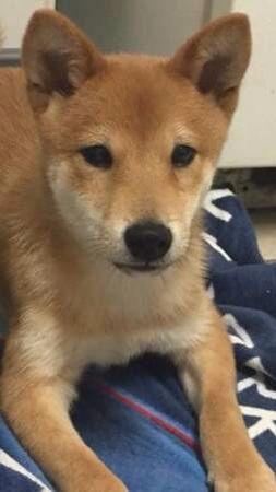 Cute Shiba Inu Puppy Help The Little Guy Kai He Needs Surgery