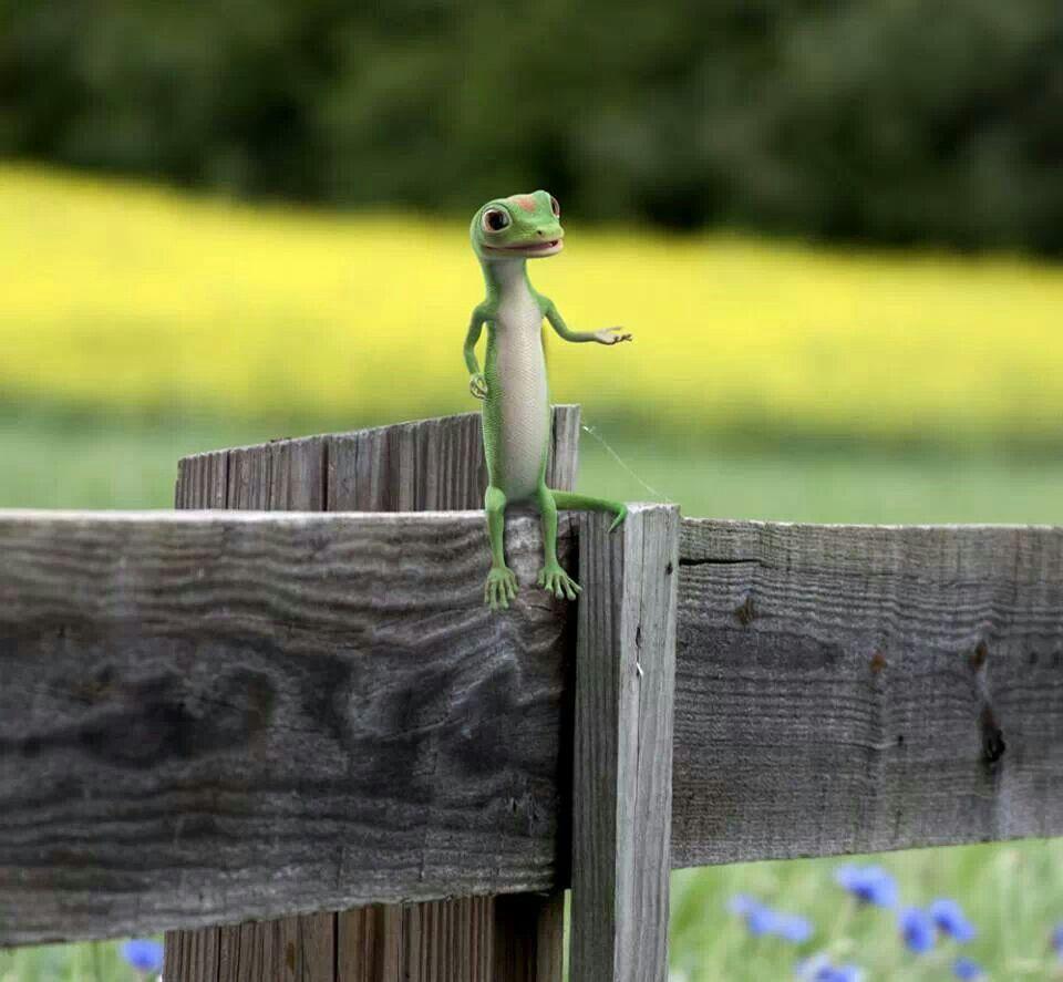 I Just Love The Geico Gecko Gecko Cute Animals Weird