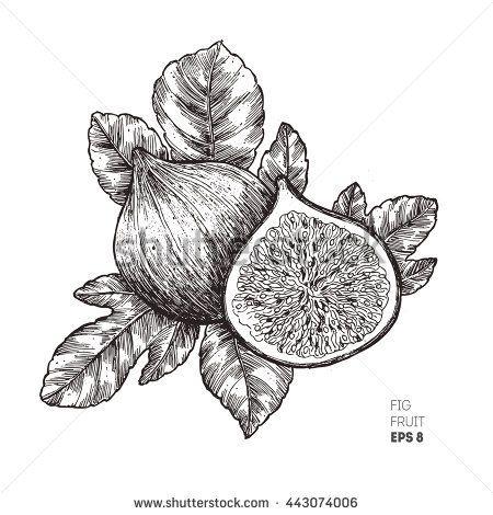 Stock Vector Fig Fruit Illustration Engraved Style Illustration Vintage Sketch Fruit Vector Illustra Typography Tattoo Botanical Illustration Minimalist Tattoo