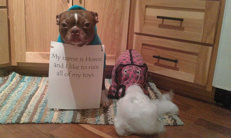 Dog Shamed Boston Terrier