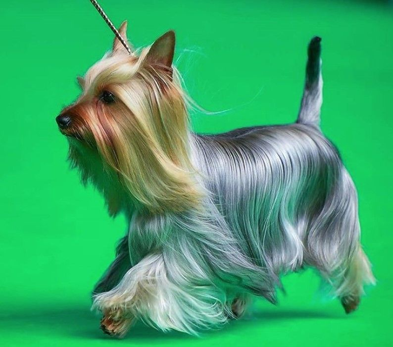 10 Best Silky Terrier Haircuts For Your Puppy The Paws In 2020 Australian Silky Terrier Toy Dog Breeds Silky Terrier