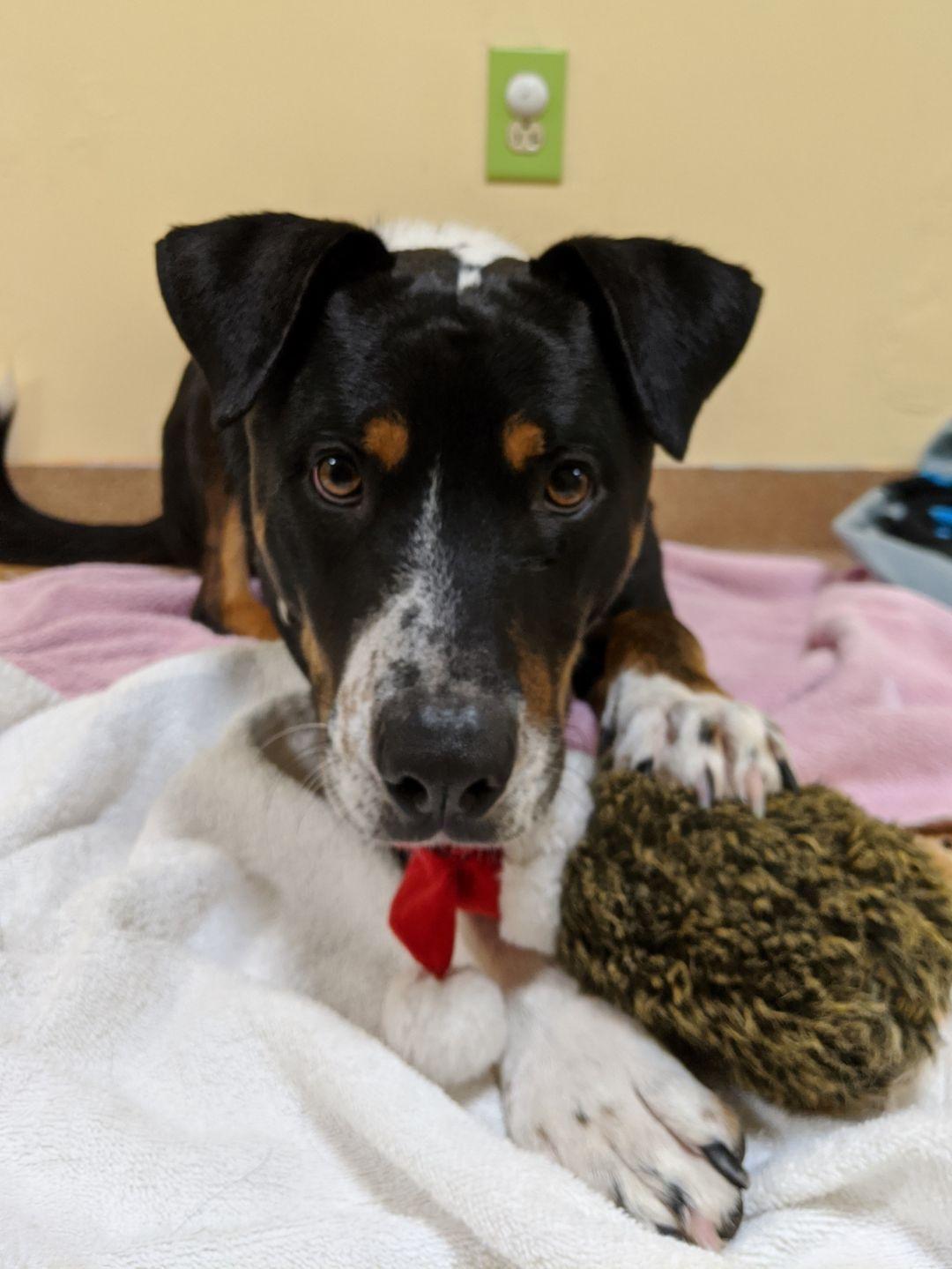 Adopt Max on Mountain dogs, Animal welfare society